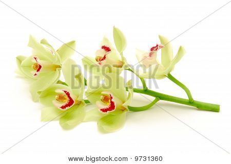 Stem Of Green Orchids