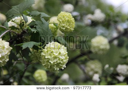 Snowball (Viburnum opulus) flower