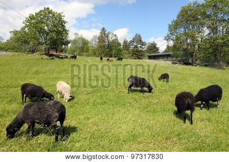 Flock of sheep grazing in a hill