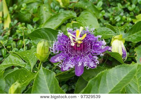Passion fruit flower Passiflora incarnata flower and leaf poster