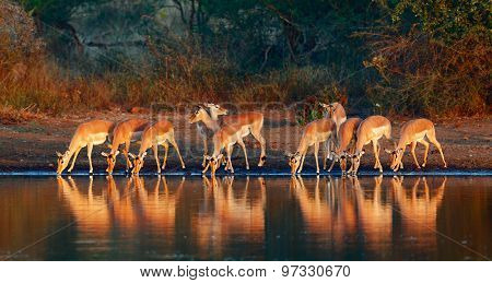 Impala herd (Aepyceros melampus) drinking water - Kruger National park (South Africa)