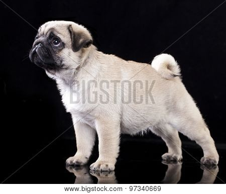 Pug puppy standing