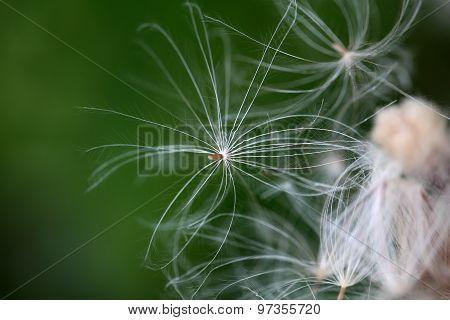 Thistle Seed