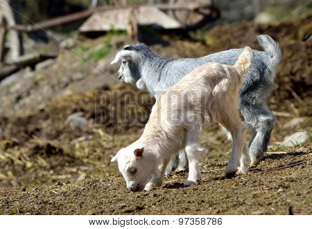Baby goats at farm in early spring