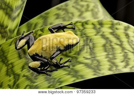 Yellow poison frog Brazil rain forest, Dendrobates galactonotus. Poisonous rainforest animal, exotic tropical amphibian with warning colors.