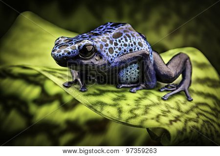 blue poison frog Dendrobates Azureus. A beautiful tropical and poisonous amazon rain forest animal. Poison dart or arrow frog. Exotic amphibian kept as terrarium pet