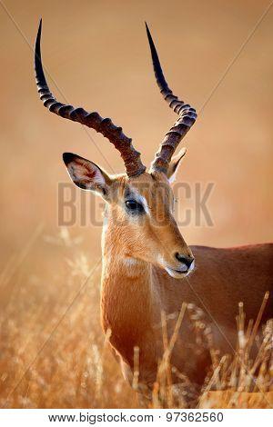 Impala male (Aepyceros melampus) portrait close-up - Kruger National park (South Africa)