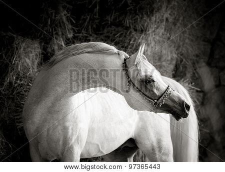 Outstanding Graceful White Arabian Stallion With Long Neck Monochrome Portrait