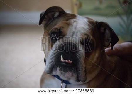 bulldog exposed tooth and head cocked to one side poster
