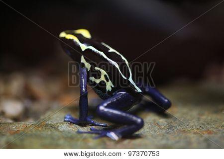 Dyeing dart frog (Dendrobates tinctorius), also known as the dyeing poison frog. Wildlife animal.  poster