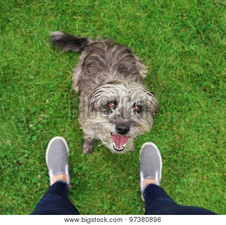a cute terrier mix begging for a treat in a park or backyard lawn with very green grass
