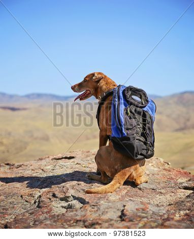 a dog sitting on a mountain top with a canvas backpack looking over a skyline panting on a hot summer day