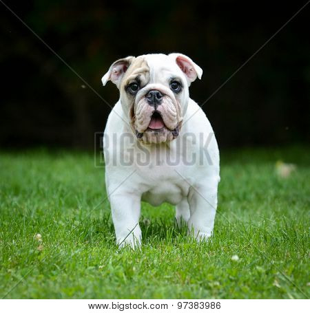 surprised puppy standing in the grass looking at viewer - bulldog