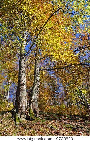 Beechen autumn wood.