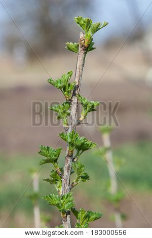 Shoots of young gooseberries, green foliage, branches, kidneys. First spring leaves. Gardening, growing plants, fruit and berry bushes.
