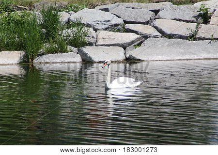 Mute Swan (Cygnus olor),  gliding a large pond.