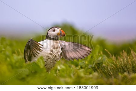 Young Puffin Trying To Fly Off
