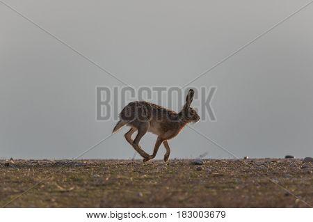 Portrait Of Running Brown Hare  (lepus Europaeus)