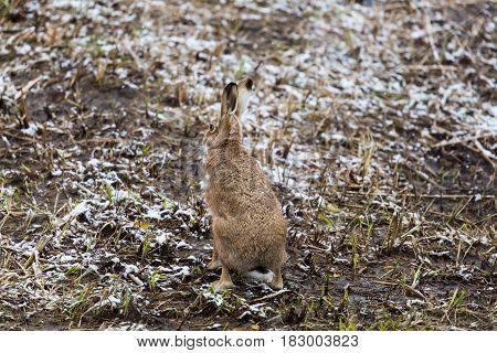 Brown Hare (european Hare, Lepus Europaeus)