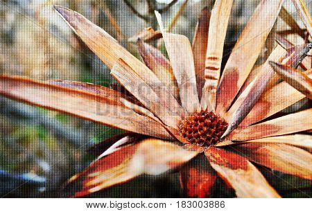 Close up beautiful dry brown Protea Blossoms
