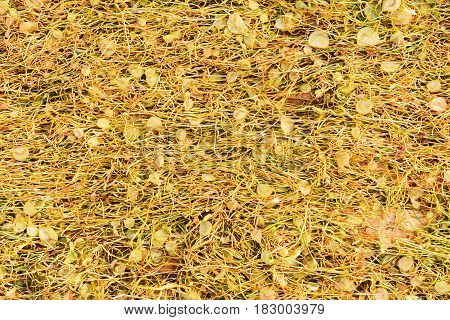 cut and dry tobacco leaves dried on field
