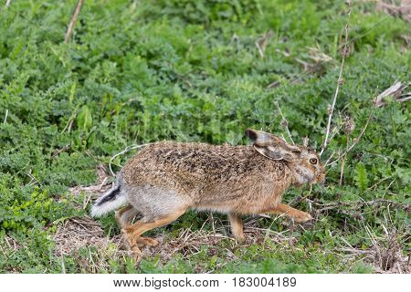 Brown Hare  (lepus Europaeus) In Green Meadow