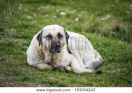 Old shepherd dog, tired and exhausted dog pictures
