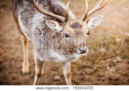 Young male red deer stag in autumn fall forest. Animals in natural habitat beauty in nature.
