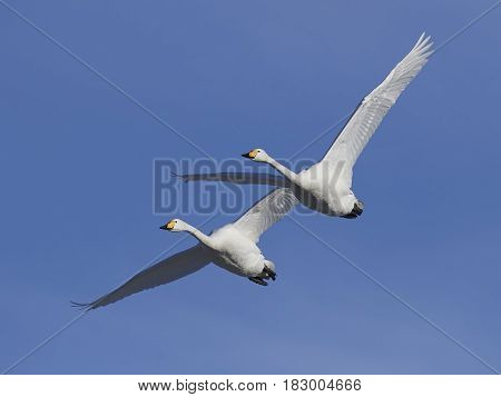 Whooper swans in flight with blue skies in the background