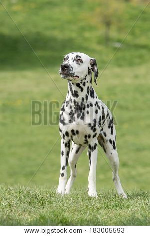 Close-up shot of beautiful Dalmatian dog.Portrait shot