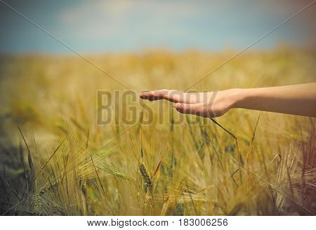 photo of female hand under wheat field on the wonderful sky background