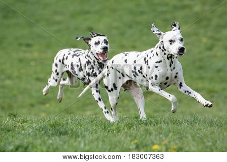 Two young beautiful Dalmatian dogs running on the grass.Selective focus on the first dog