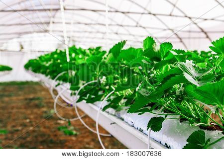 Inside View On Greenhouse For The Cultivation Strawberry