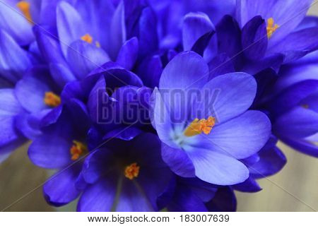 Spring flowers crocus bouquet on wooden background