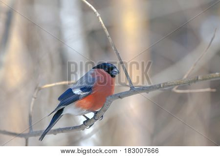 Bullfinch Bird With Colorful Plumage On A Tree