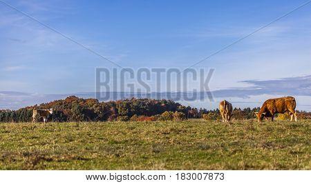 Cows Pasture Farmland Germany Landscape Nature Animals
