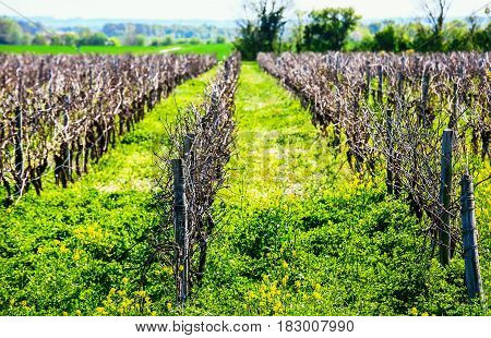 Beautiful Rows Of Grapes Before Harvesting In A French Vineyard