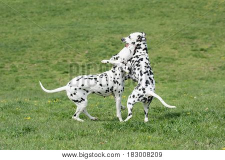 Two young beautiful Dalmatian dogs running on the grass