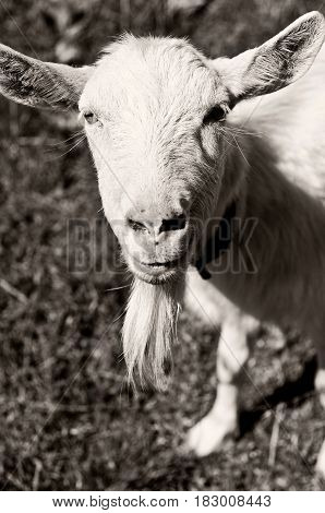 white goat  on a walk. close-up portrait of a white goat. goat milk and cheese.
