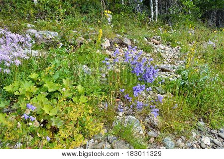 Wild bells. Wildflowers on the bank of the Ural river.