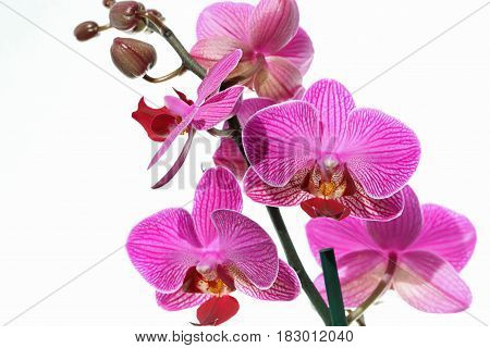 Pink Orchid against white Background close up