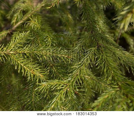 Background branch tree. Branch of green spruce. Rain drop