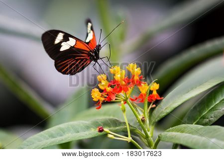 A Paper Kit Butterfly feeding on red and yellow flowers