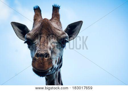 A Rothschild's giraffe portrait taken against a blue sky