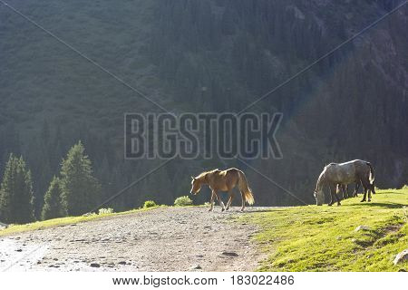 two horses on green meadow near forest feeding with backlight in tyan-shan mountains