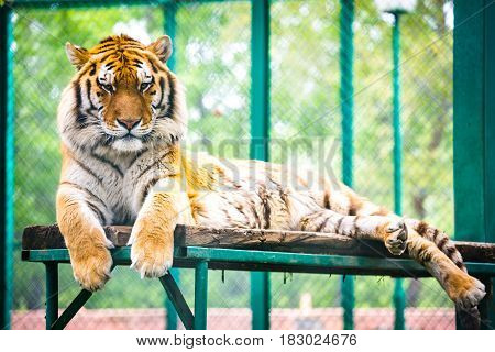 Siberian tiger (Panthera tigris altaica) also known as the Amur tiger.