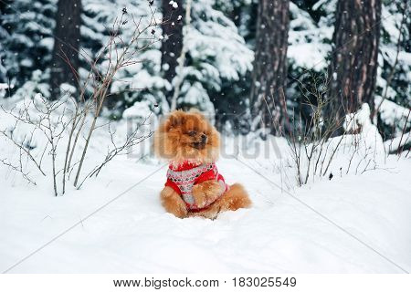 Cute pomeranian dog in the winter forest. Dog in snowy forest. Clever dog