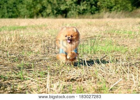 Running pomeranian dog. Portrait of cute pomeranian dog. Autumn dog. Dog in field