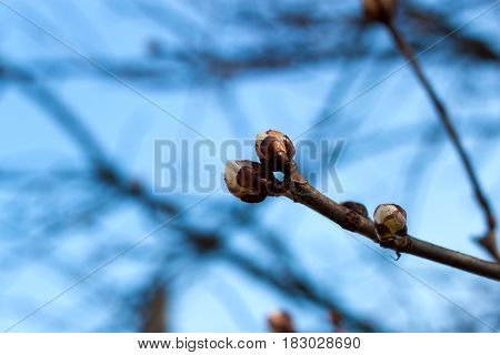 branch with buds in a early spring sunny day
