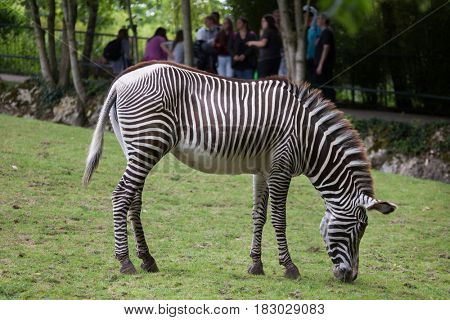 SAINT-AIGNAN, FRANCE - JUNE 30, 2016: Visitors look as the Grevy's zebra (Equus grevyi), also known as the imperial zebra eating grass in its enclosure at Beauval Zoo in Saint-Aignan sur Cher, France.